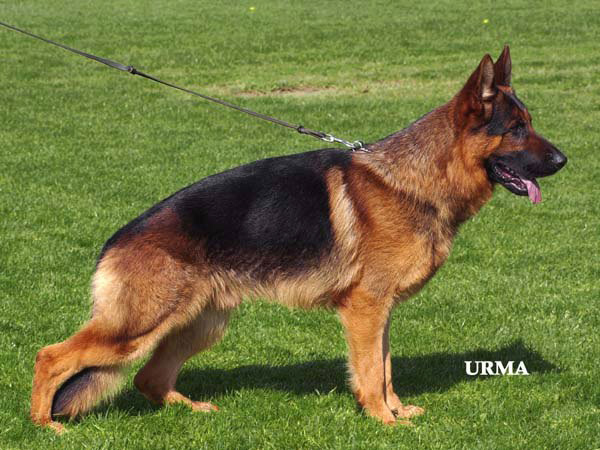 German Shepherd Dog Kevin